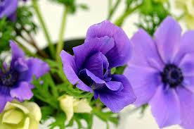 anemone violet
