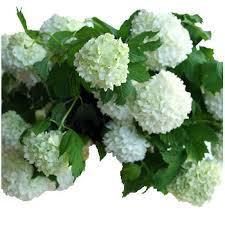 viburnum white